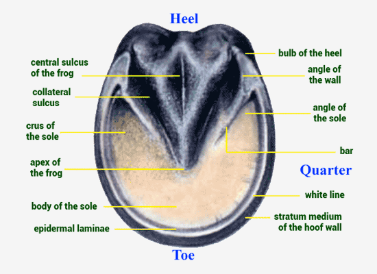 The Equine Hoof