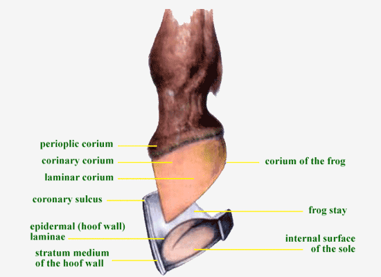 The Anatomy And Physiology Of The Hoof Life Data Labs Inc