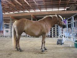 """Haflinger horse """"Buttercup"""""""