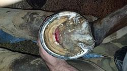 Case Report Laminitis With Sloughing Of All Four Hooves