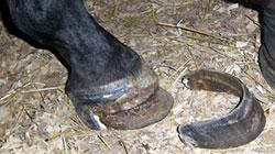 Hoof Resection