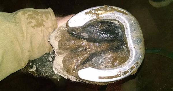 Hoof with Equine Thrush