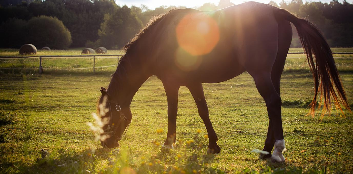 horse grazing in sunlight