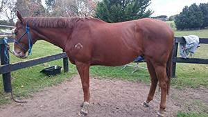 Thoroubred Horse